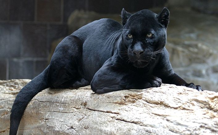 black panther from jungle book pronunciation
